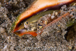 cone shell eyeballs, I never realized they had eyes by Stephen Juarez 